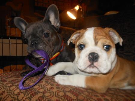 English & French Bulldog Puppies NY | Classact Kennel