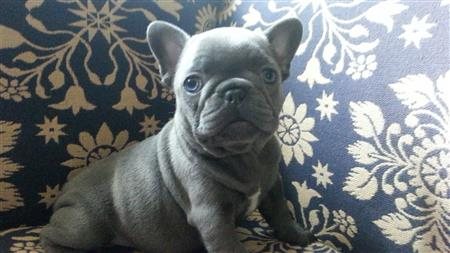 English & French Bulldog Puppies NY | Classact Kennel